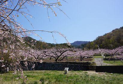 桃の里一宮金沢桃の花-3
