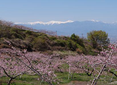 桃の里一宮金沢桃の花-4