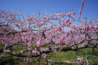 桃の里一宮金沢桃の花-5