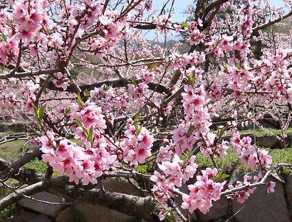 桃の里一宮金沢桃の花-6
