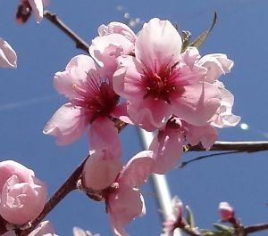 桃の里一宮金沢桃の花-7