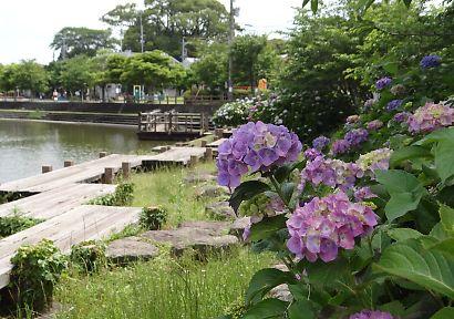 アジサイの咲く二ツ池にて-4