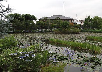 上足洗の蓮の花・睡蓮-1