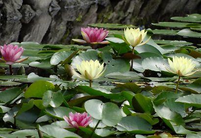 上足洗の蓮の花・睡蓮-6