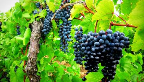 Grape-Vine-and-Branches-610x350.jpg