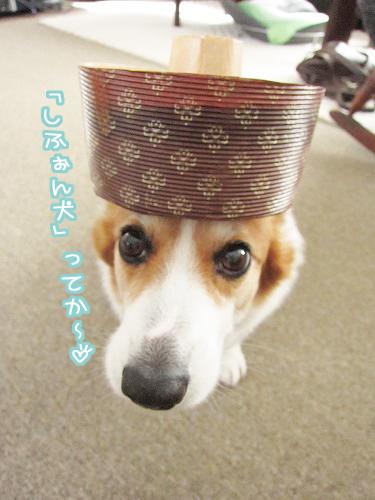 しふぉん犬