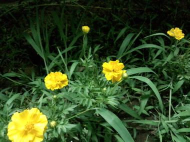 FC2-marigold.jpg