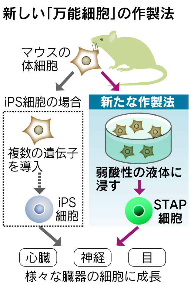 STAP細胞作製法