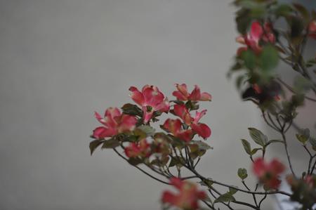 hanamizuki2013417-4.jpg