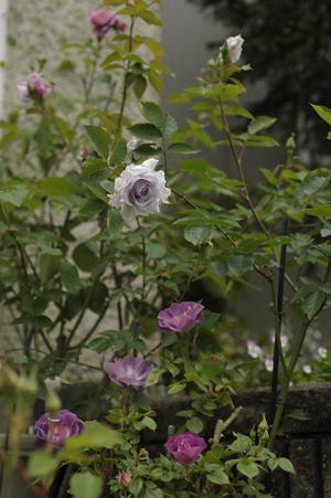 roses2013511-3.jpg