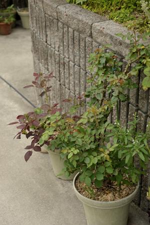 roses2013610-1.jpg