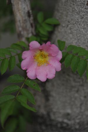 sanshoubara2013509.jpg