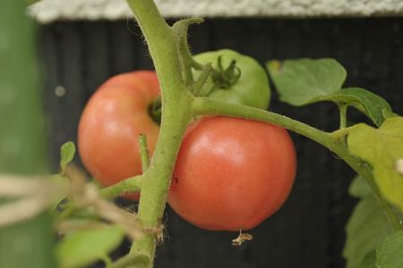 tomato2013628-2.jpg