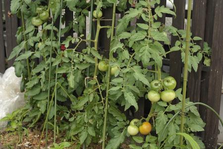 tomato2013628-3.jpg