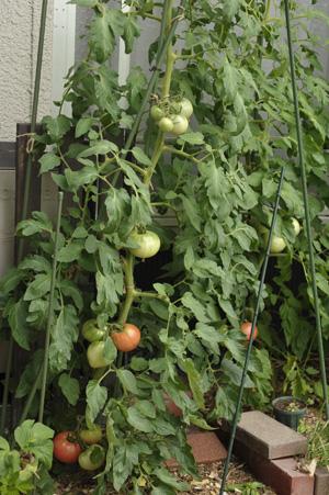 tomato2013628-6.jpg