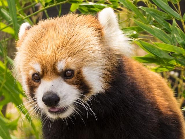 円山動物園のレッサーパンダのセイタ
