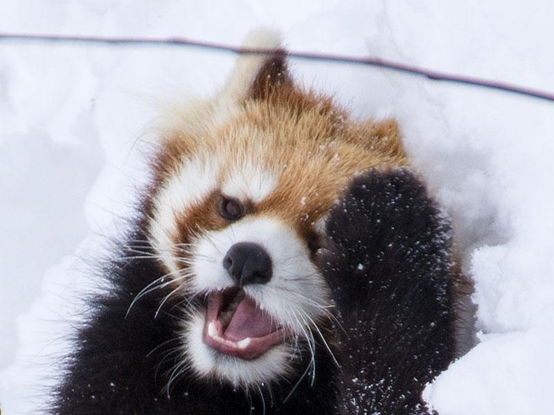 円山動物園生まれの双子レッサーパンダのギン