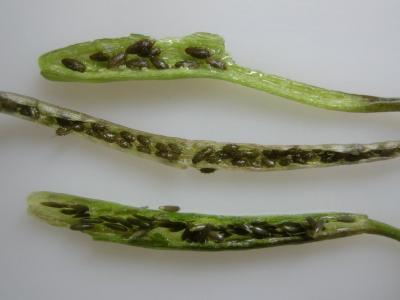 スブタ属3種の果実