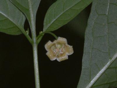 ハダカホオズキの花