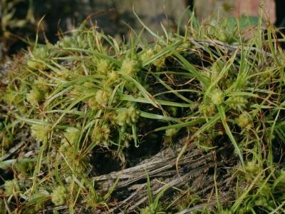 ヒメアオガヤツリ