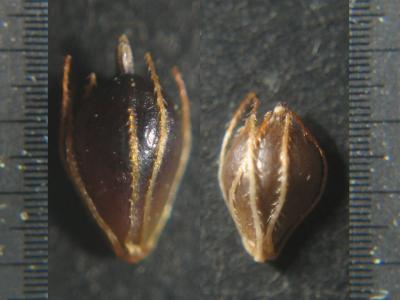 フトイ類の痩果