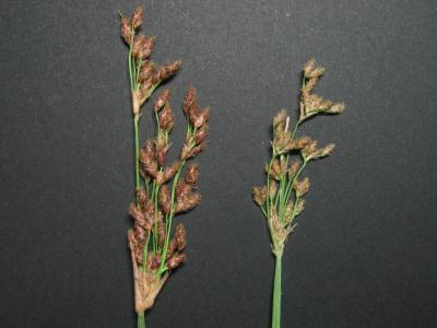 フトイ類の雌性期花序