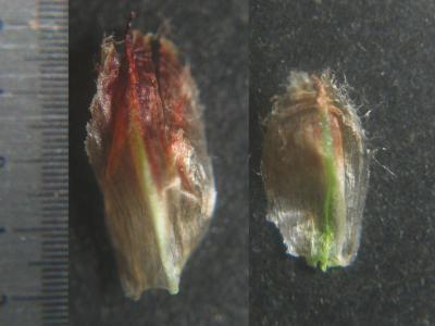 フトイ類生時の鱗片