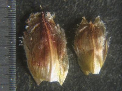 結実期の鱗片