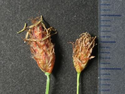 フトイ類の小穂