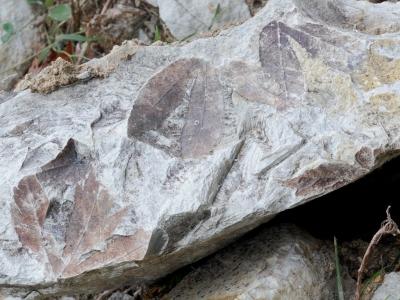 神戸層群の植物化石