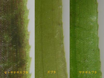 スブタ属3種の鋸歯