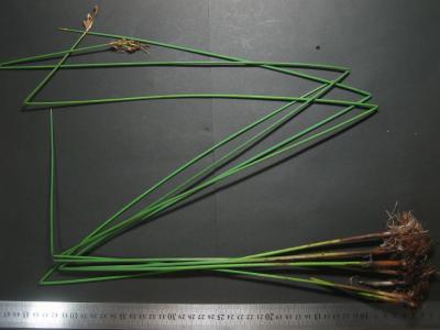 兵庫県産海浜性小型フトイの全草標本