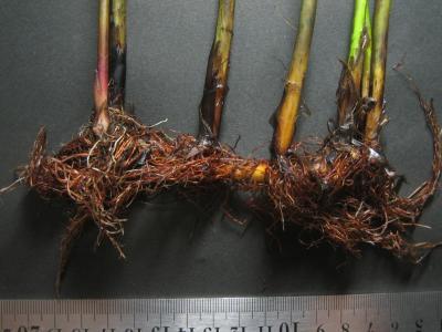 海浜性小型フトイの根茎