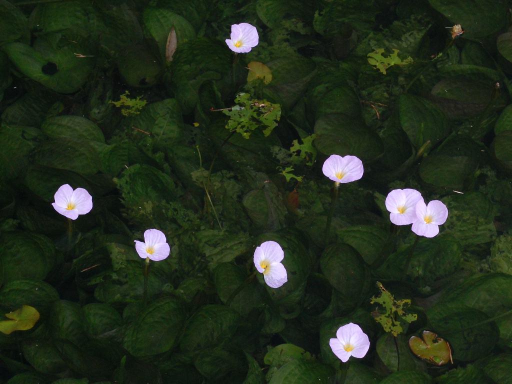 ミズオオバコの花