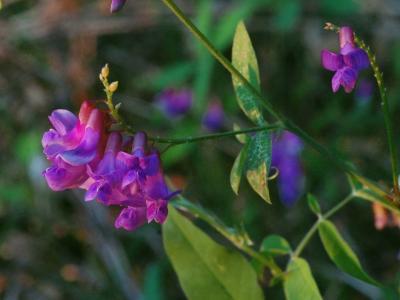 オオバクサフジの花