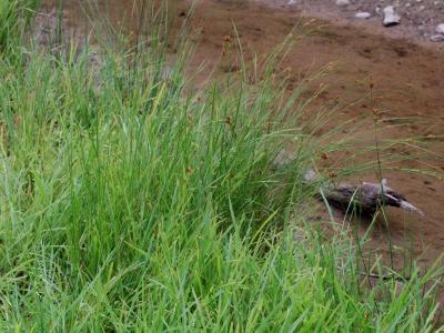 溜池土堤の湿生植物