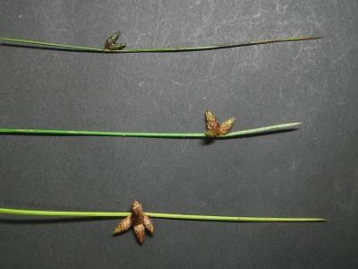 ホタルイ3種の花序