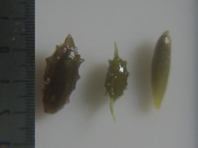 スブタ属3種の種子