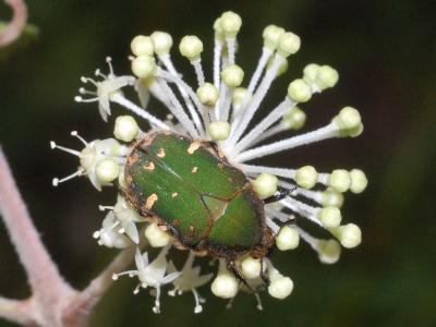 ウドの花にきたコアオハナムグリ