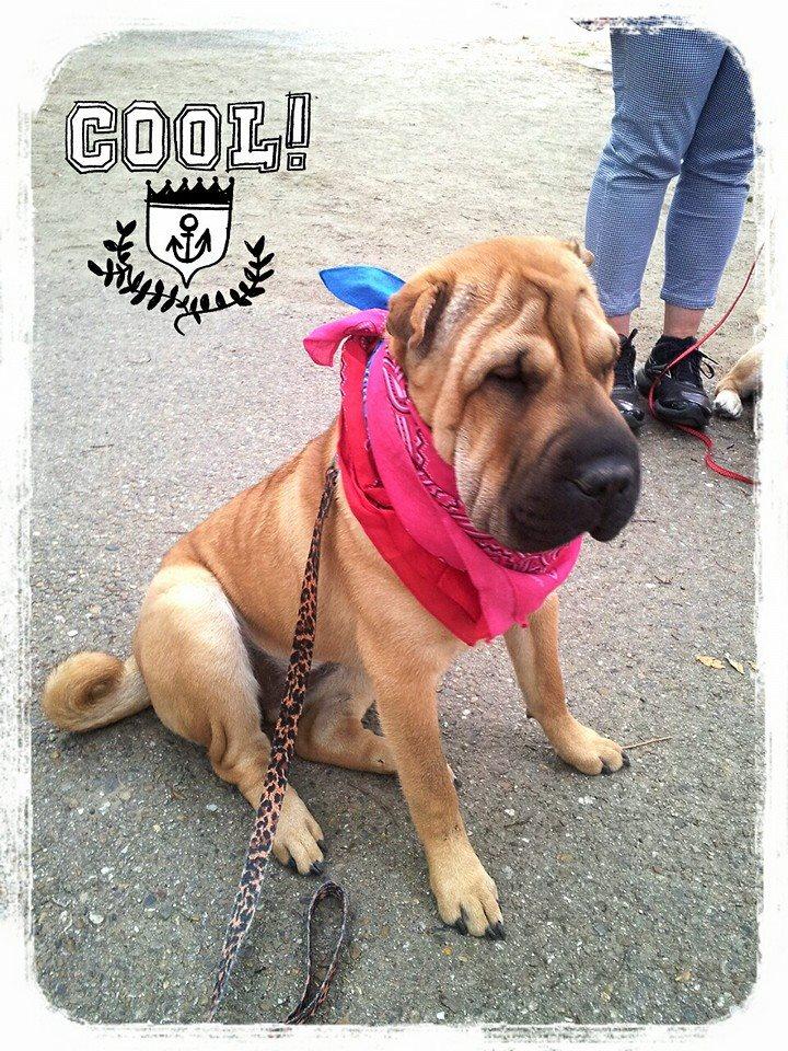 シャーペイ 犬 ブリーダー ブスかわいい 犬 シャー・ペイ 専門店