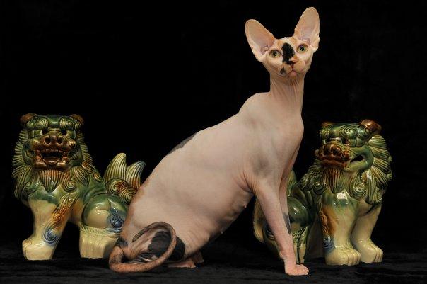 ブサカワ スフィンクス 子猫 販売