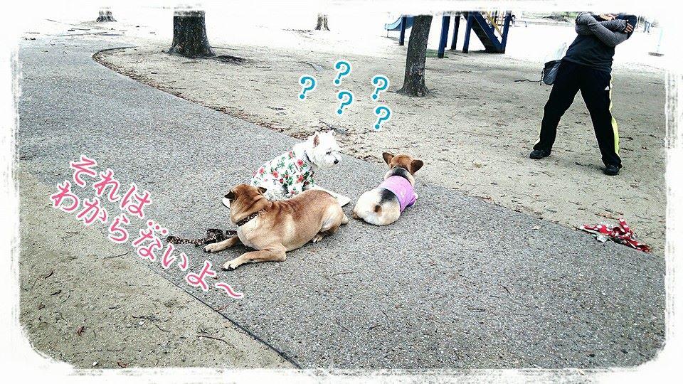 シャーペイ 犬 ブサカワ 犬  シャー・ペイ 子犬