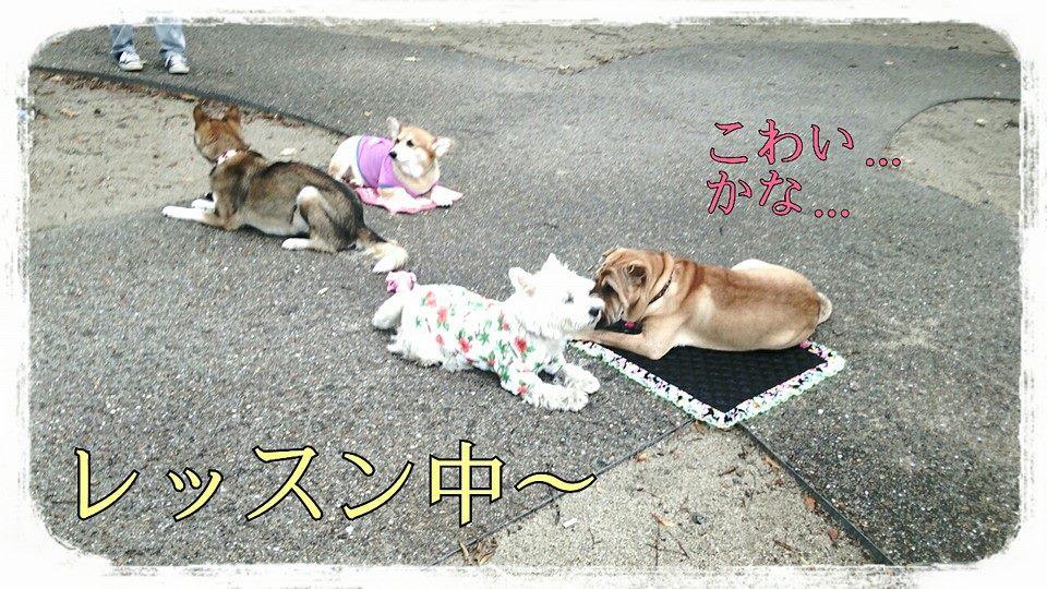 エクスクルーシブ 犬舎 シャーペイ 犬 ブサカワ 犬  シャー・ペイ 子犬