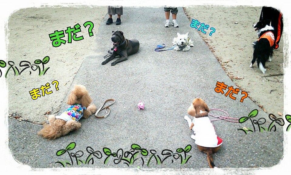 シャーペイ 専門 シャー・ペイ 犬 ブサカワ 犬  シャーペイ