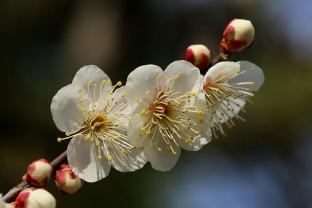 春の香 白梅
