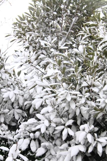 大雪でかっ白になった樹