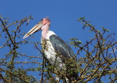 アフリカハゲコウ3