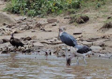 アフリカハゲコウ12