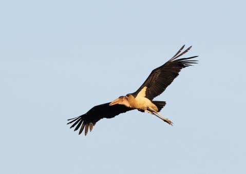 アフリカハゲコウ15