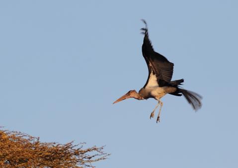 アフリカハゲコウ16